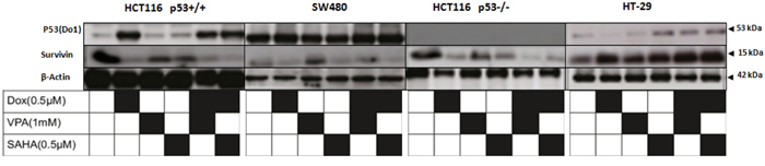 Dox/SAHA combination decreases drastically survivin protein level in HCT 116 p53+/+, HCT116 p53-/- and SW480 but not HT-29 cell lines.