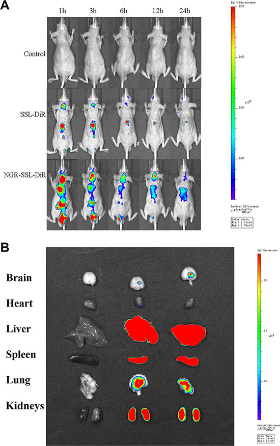 In vivo real-time imaging.