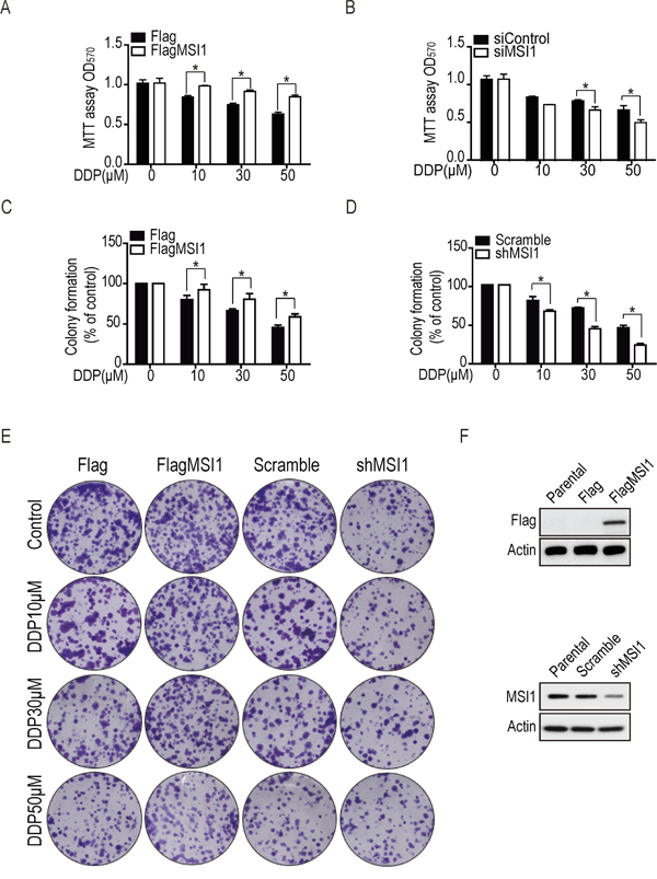 Musashi-1 enhanced cell viability and colony formation under DDP treatment in GBM cells.