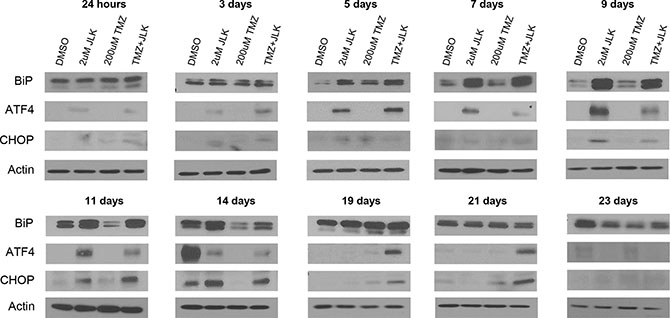TMZ+JLK1486 treatment induces prolonged endoplasmic reticulum stress that results in induction of CHOP, a pro-apoptotic transcription factor.