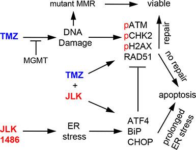 TMZ+JLK1486 treatment induces prolonged ER stress and unresolved DNA damage that results in increased cell death.