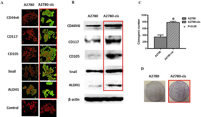 Increased CSC phenotype in EOC-cis resistant cells compared with EOC-control cells.