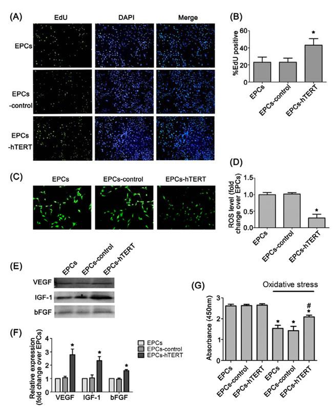 Characterization of hTERT-overexpressing rat EPCs.
