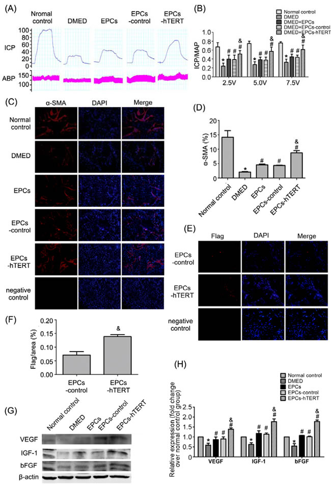Recovery of erectile function in DMED rats after cell transplantation.