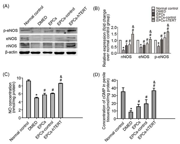 EPCs-hTERT-induced changes in protein expression of eNOS and nNOS and NO-cGMP levels.