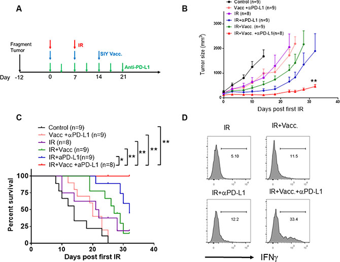 Administration of anti-PD-L1 antibody significantly improves the therapeutic efficacy of vaccination plus IR.