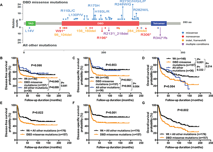Reduced DFS, DSS, and OS in OSCC patients harboring TP53 DBD missense mutations.