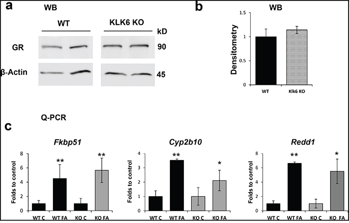 The expression and function of the glucocorticoid receptor is not affected by the lack of KLK6.