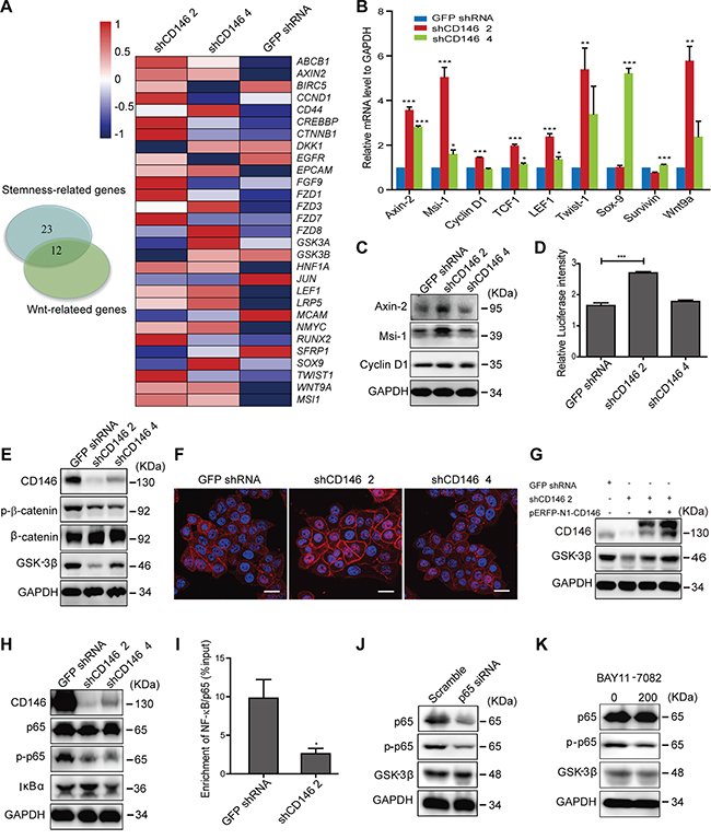 Knockdown of CD146 activates canonical Wnt signaling in CRC cells.