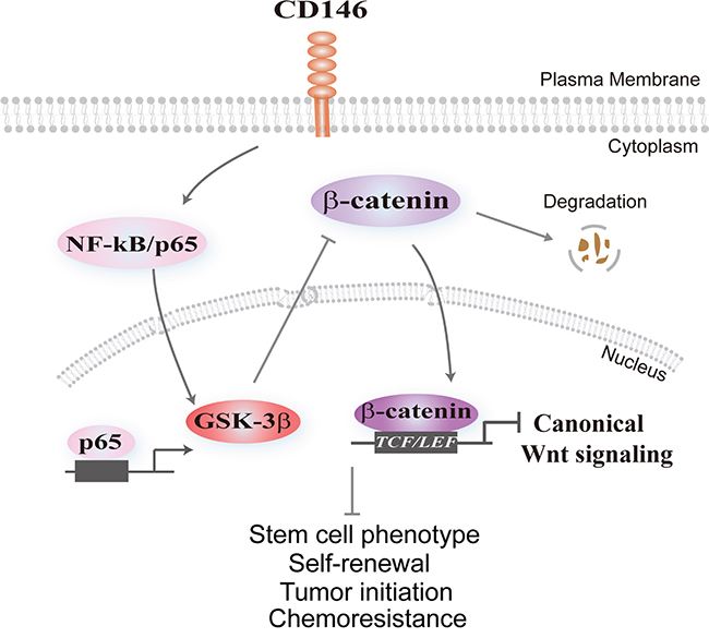Schematic model illustrating the effect of CD146 on canonical Wnt signaling and cancer stemness.