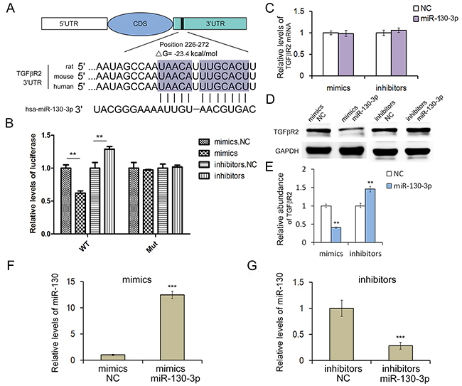 MiR-130 regulates TGFβR2 expression in gastric cancer cells.