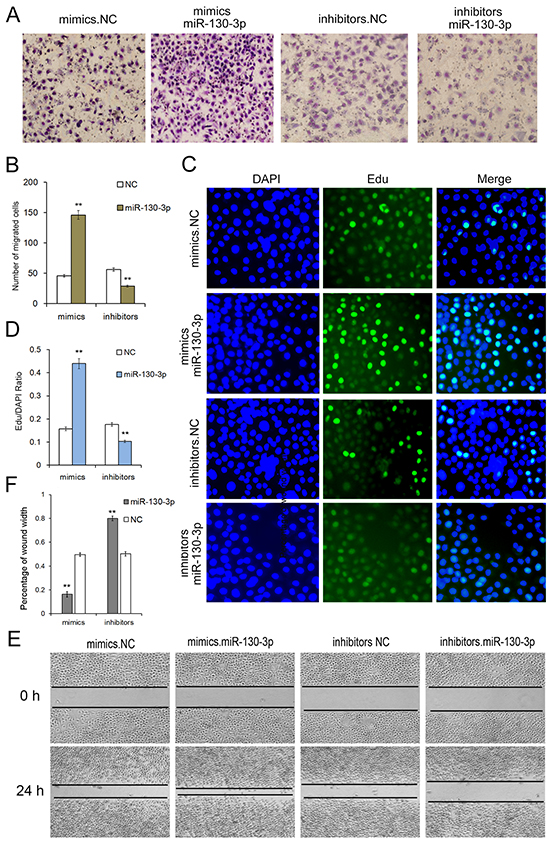 Onco-miR-130 promotes cell proliferation and migration of SGC7901 cells.