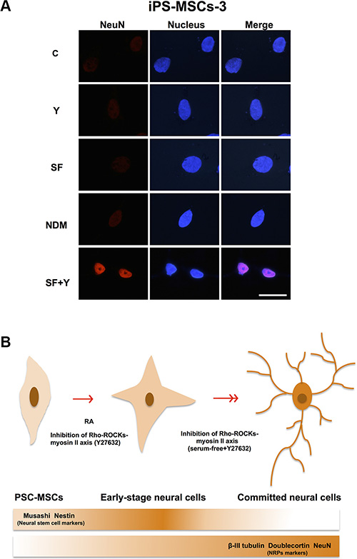 PSC-MSCs have differentiation capacity of neural lineage more than BM-MSCs.