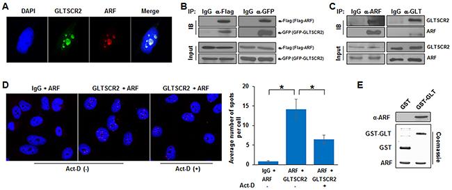 GLTSCR2 binding to ARF.