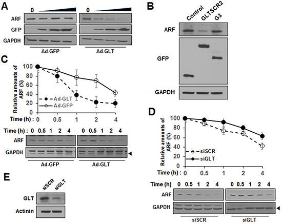 GLTSCR2 enhanced the degradation of ARF.