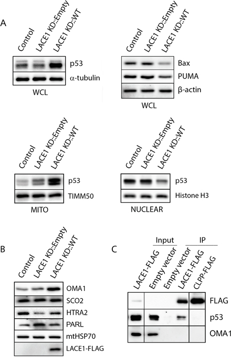 LACE1 expressed in LACE1 KD background physically interacts with p53 and promotes its increased mitochondrial accumulation and nuclear reduction.