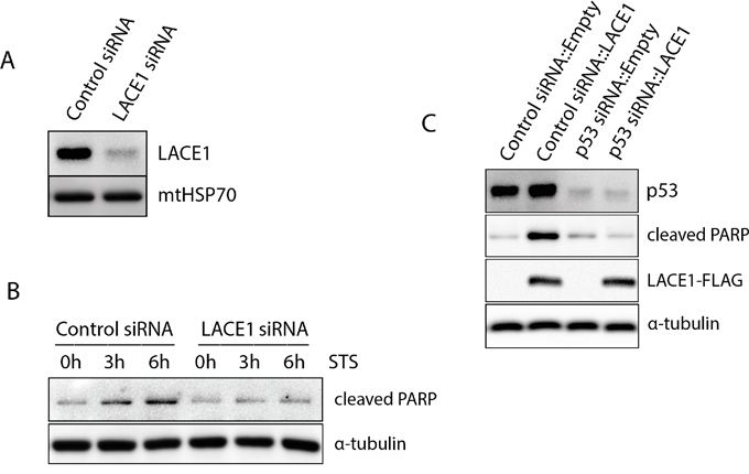 The LACE1-mediated apoptosis is dependent on p53.