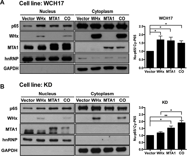 Wk-MTA1 plays an essential role in WHx-induced wk-NF-κB activation.