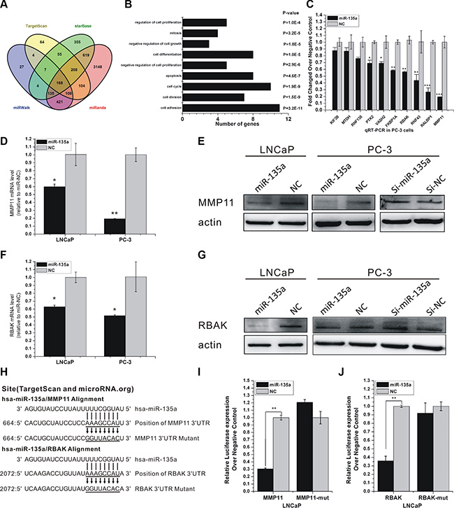 miR-135a directly targets RBAK and MMP11 in PCa cells.