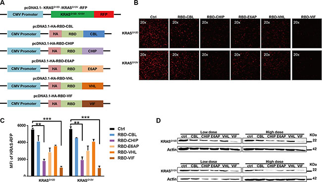 Different chimeric proteins significantly inhibit the expression of mutant KRASG12D or KRASG12V.