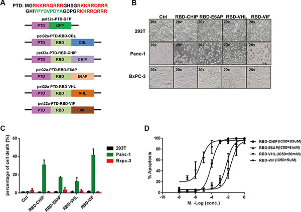 Purified chimeric proteins induce cell death in tumor cell lines.