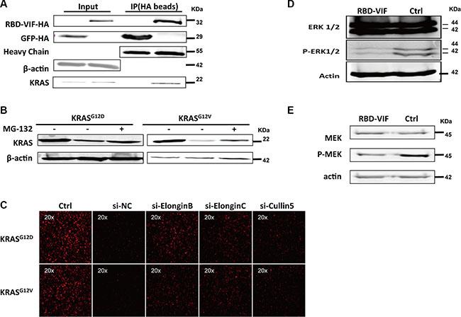 RBD-VIF mediates the degradation of mutant KRAS through Vif-mediated ubiquitin system and inhibits the downstream of MAPK-ERK pathway.